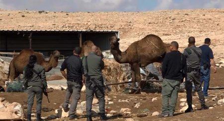 שוטרים עם הגמלים שנתפסו