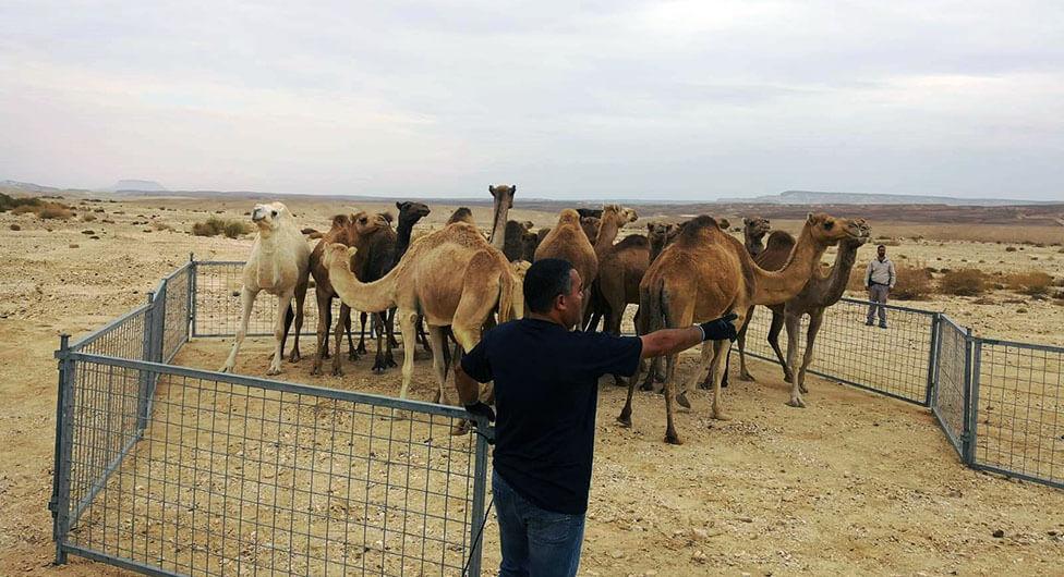 צפו: נעצרו גמלים משוטטים וחשוד בתקיפת עובד ציבור